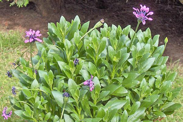 Остеоспермум уход и выращивание — Все цветы
