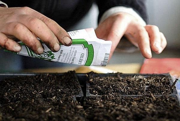 посев семян сельдерея листового