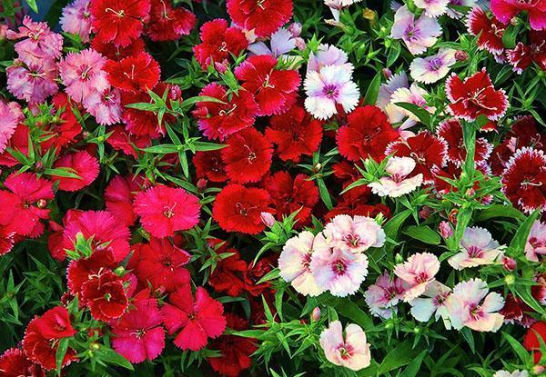 Выращивание китайской гвоздики для стильного украшения садового участка