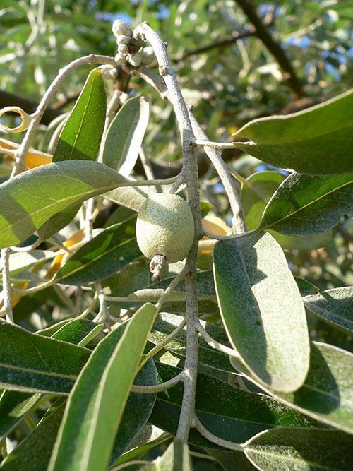 плоды лоха серебристого