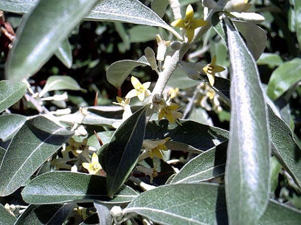 цветет лох серебристый
