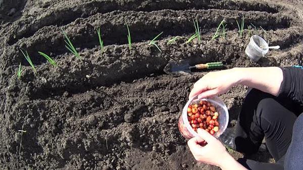 Выращивание лука по китайской технологии — секреты богатого урожая