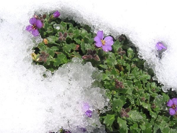 обриета под снегом