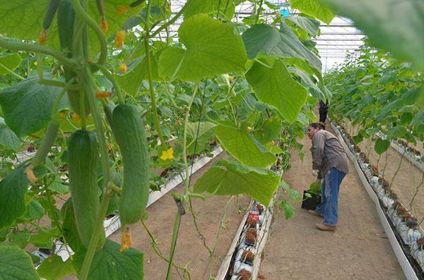 успешное выращивание огурцов на гидропонике