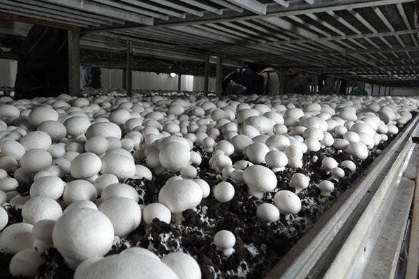 голландская технология выращивания шампиньонов