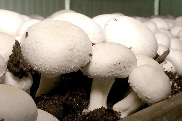 блочное выращивание шампиньонов