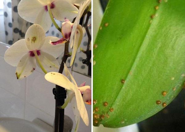 борьба с вредителями орхидей
