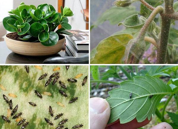 зеленое мыло для комнатных растений