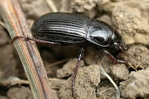 ночное насекомое жужелица