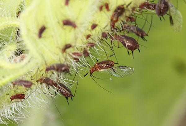 насекомые погибнут в течении 24 часов