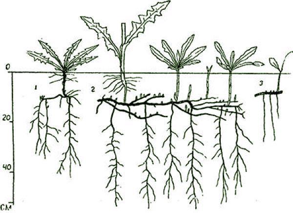 растение с мощной корневой системой