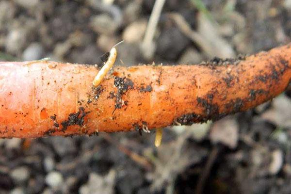 повреждение моркови