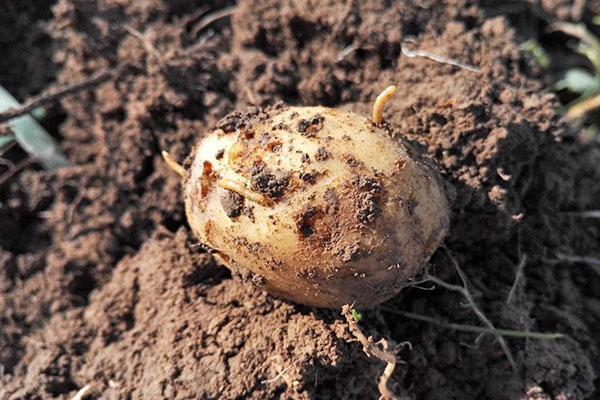 побитый проволочником картофель