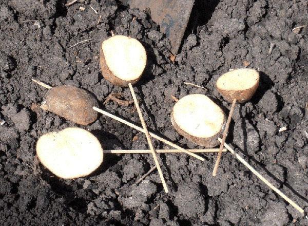 клубни картофеля как приманка