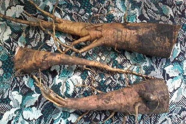 корень лаконоса