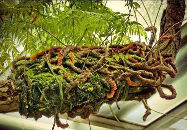 пушистые корни даваллии