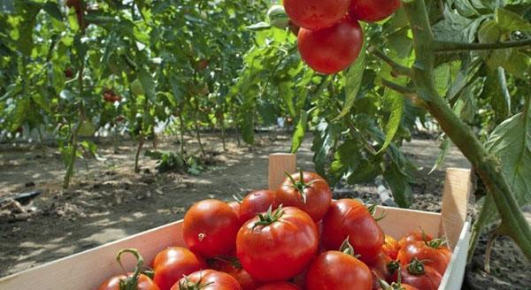 обработанные квадрисом томаты