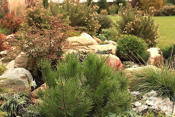 украшение сада - горная сосна