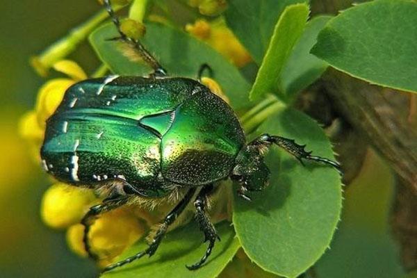 зеленая бронзовка