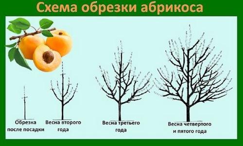 весенняя обрезка абрикоса