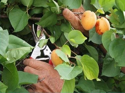 летняя обрезка абрикос