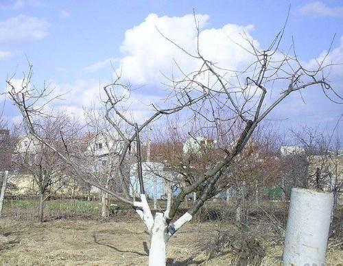 омолаживание старого абрикоса