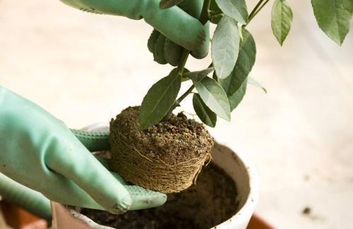 Как выращивать, ухаживать и пересаживать мандариновое дерево в домашних условиях