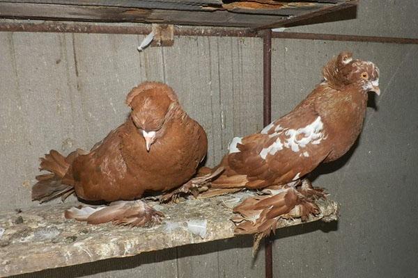 условия содержания голубей