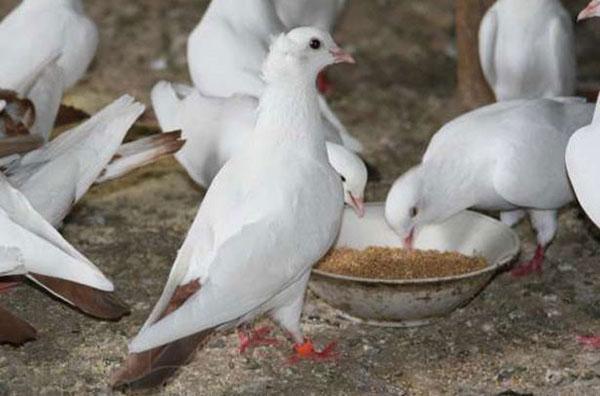 питание для голубей