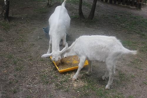 питание козы