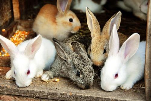какие бывают кролики