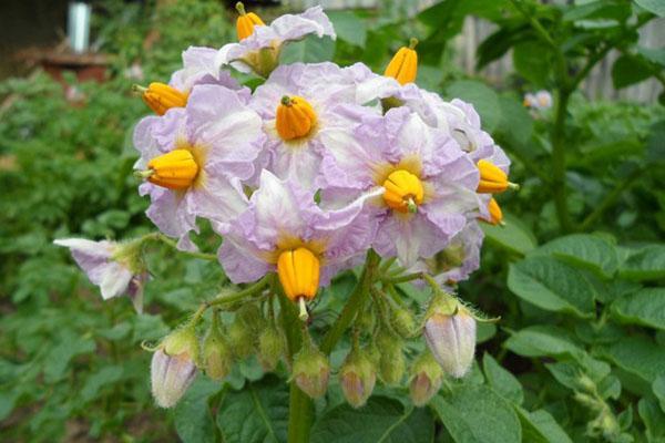 цветение картофеля сорта Киви