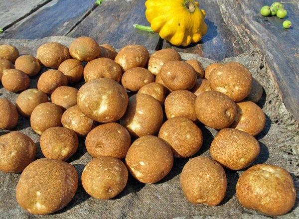 клубни картофеля сорта Киви