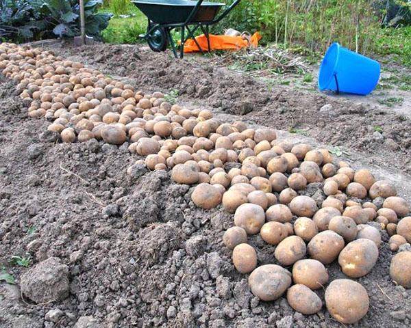 уборка картофеля сорта Киви