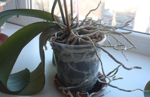 орхидее тесно в горшке