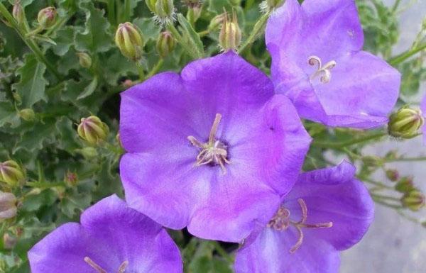 чашеобразный цветок