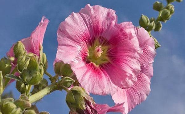 красивое цветение мальвы