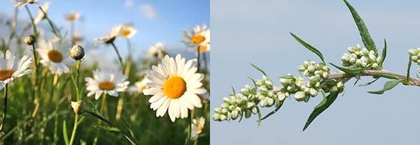 дополнительные растения для лечебных настоев