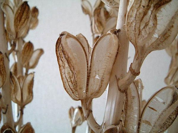 коробочки лилии с семенами