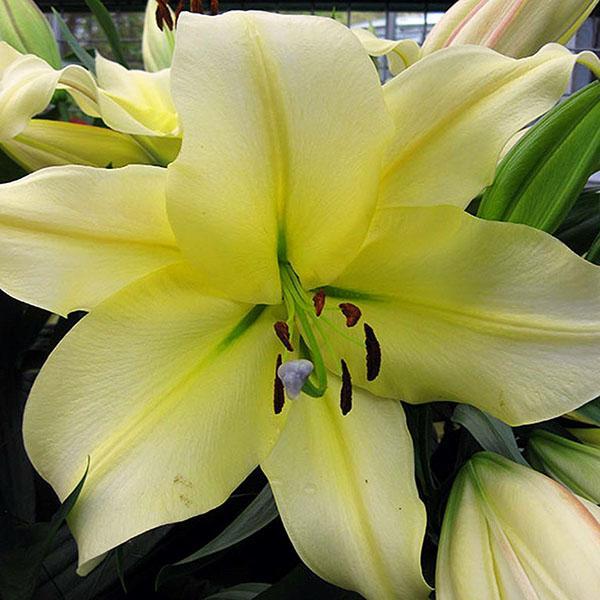 лилия нежного желтого цвета