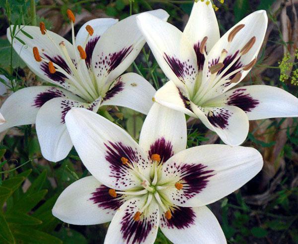двуцветные цветы лилии