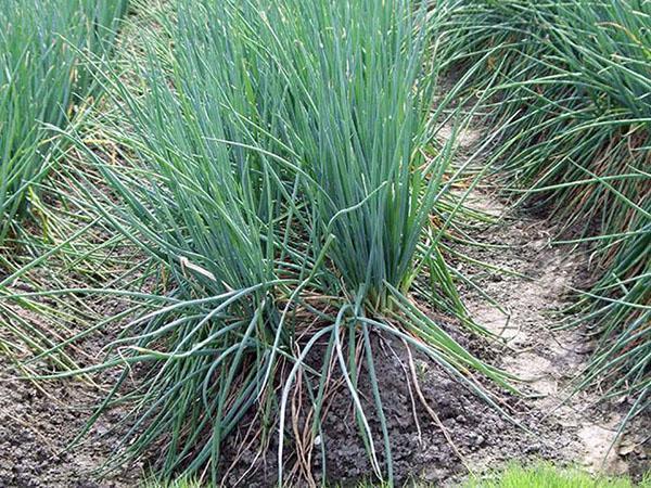 лук-батун выращивание и уход