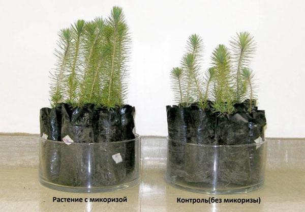 растения с микоризой и без микоризы