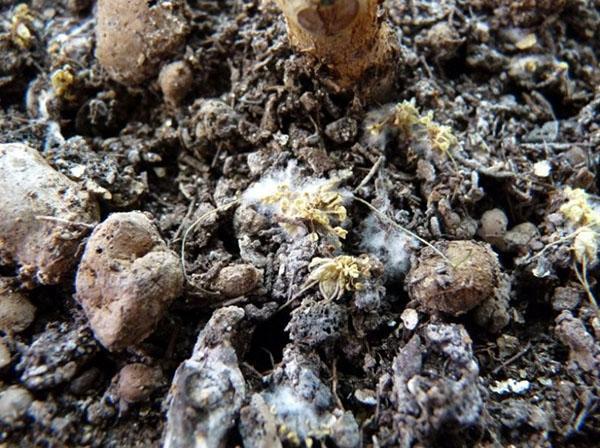 виды микоризы