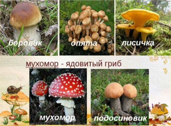 микоризообразующие грибы