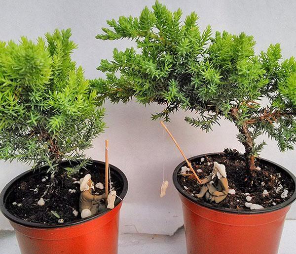 растения для бонсая