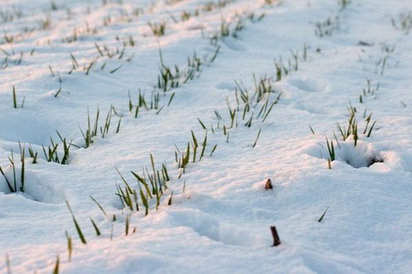 посевы ржи на зимовке