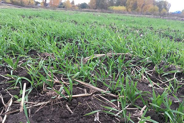 влажная почва для ржи