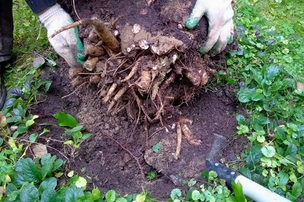 выкапывание куста пиона