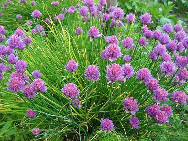 полезное и декоративное растение